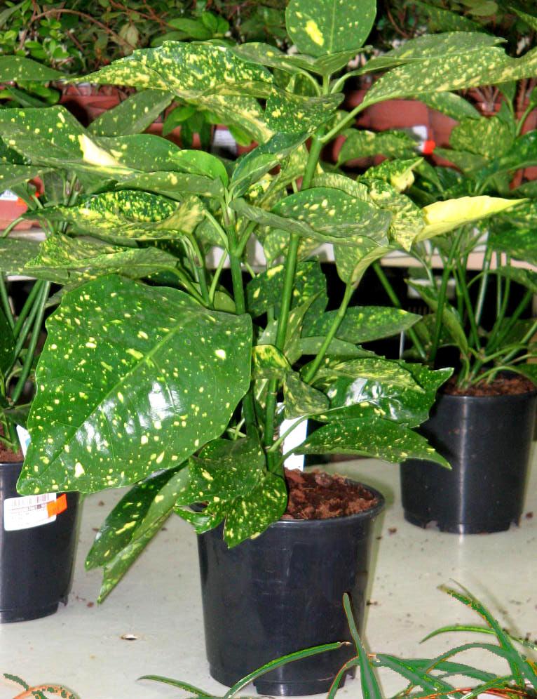 Аукуба выращивание в домашних условиях